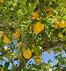 绿色柠檬树