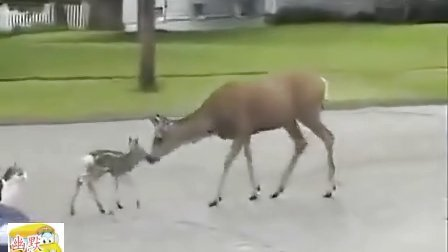 【搞笑】实拍鹿妈妈为保护鹿宝宝把小狗胖揍一顿,小猫却没事。