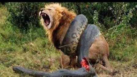 【冯导】10个疯狂的动物厮杀惊人视频