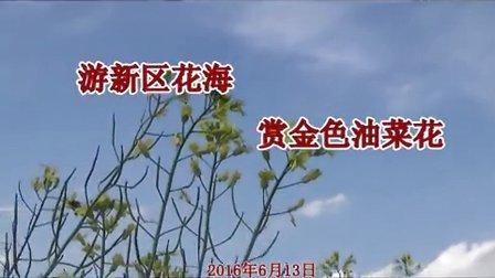 游铁岭新区花海    赏金色油菜花