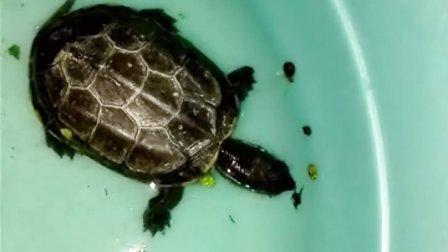 帮北京一龟友治疗肠胃炎草龟开食