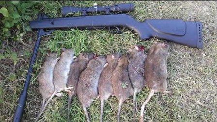 獵奇  第一百一十五集  老鼠遇上气步枪之如何消灭100只老鼠
