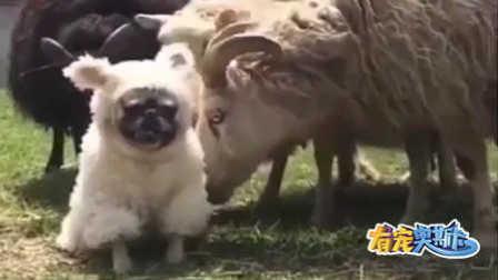 一只公狗混入母羊群中做出种种不耻的行为~