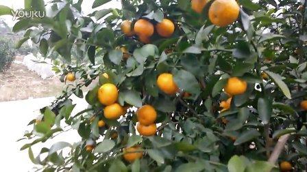 朋友手机拍福寿之乡的砂糖橘001