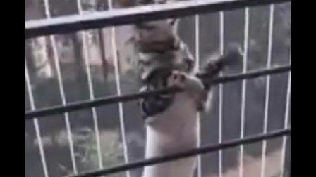 猫咪穿着手术服 依旧动作敏捷