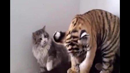 不一样的大猫, 这些是你们喜欢老虎的原因吗