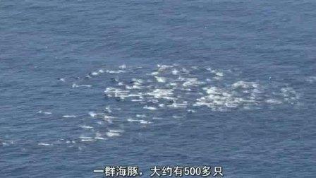 你绝对没见过500多头海豚一起露出水面的壮观情景