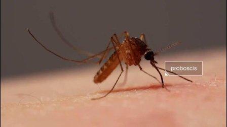 蚊子用 6 根针吸血的过程: 高清近距离拍摄