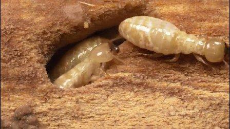 白蚁是怎样把你的房子变成他们的天堂的?
