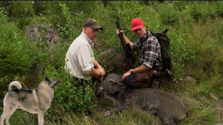 獵奇  第一百三十一集  带上猎麋犬消灭泛滥的瑞典野猪