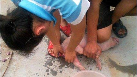 农村兽医给小猪做结扎手术现场, 这个手法超级6