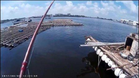 爆钓臭肚鱼剥皮鱼和加志鱼