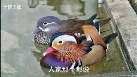 王二妮 - 一对对鸳鸯水上漂