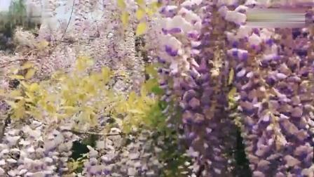 一首清香甜美的《紫藤花》好听醉了 演唱 青年歌唱家梦苇