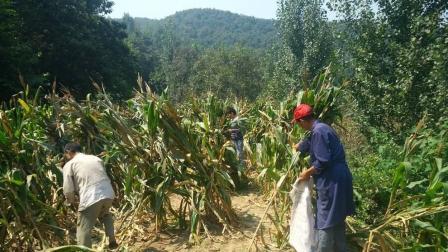 贵州黔西南兴义农村中秋收玉米实拍, 农民的苦与甜, 城里人不懂!