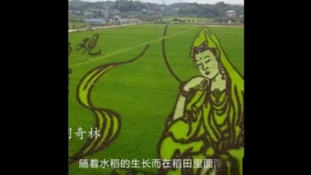 水稻种出观音菩萨