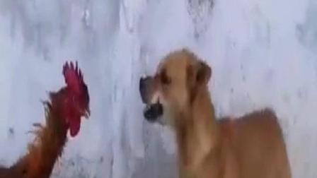 狗: 打不过就跑! 鸡: 趁胜追狗!