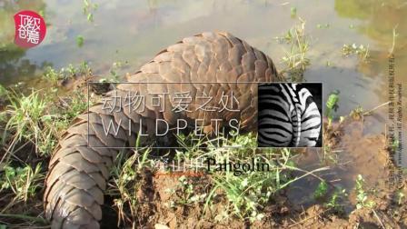 最冤的濒临灭绝动物之穿山甲-动物可爱之处-顶级创意