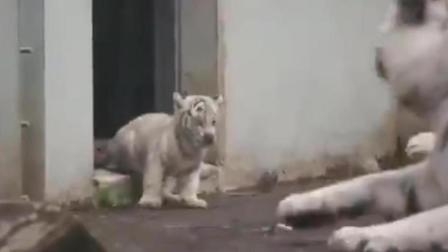 小老虎突然跳出来, 把虎爸爸吓趴在地上