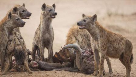 一群鬣狗猎杀一头水牛 刚要开吃 意想不到的事发生了!