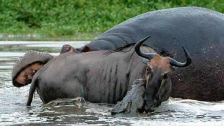 鳄鱼捕杀角马打扰到河马, 河马暴脾气忍无可忍, 这下鳄鱼惨了