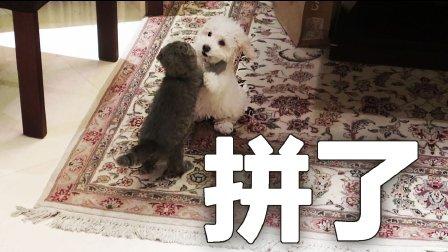 猫狗大战!(VLOG)