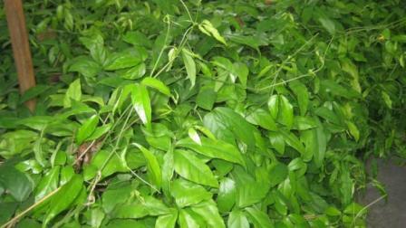 这四种野草你都认识吗? 现在种在大棚里, 开春发家致富!