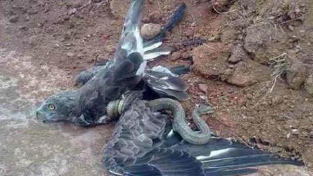 老鹰与剧毒黑曼巴死斗, 一只豹子路过瞬间乐坏了