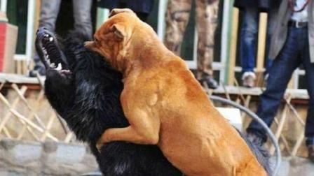 中国犬王藏獒恶战美国比特犬, 最后关头逆转反胜