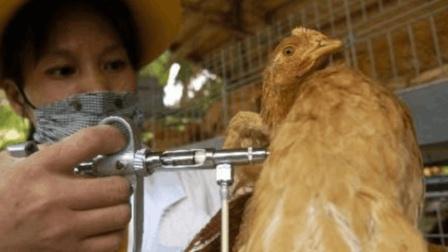 鸡的这些部位万万不能吃, 你竟然还不知道?
