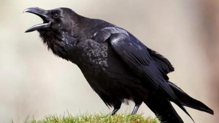 科学家新发现, 鸦群中的乌鸦, 不同叫声还有这层含义!