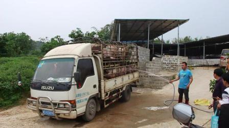 农村返乡创业养猪