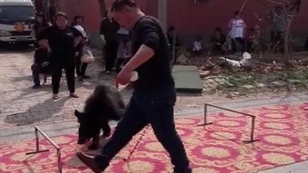 驯猛兽笨狗熊