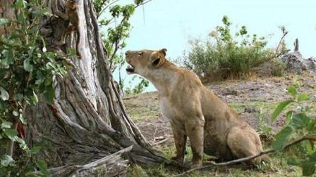 动物世界: 镜头下记录了这惊险一幕, 狮子上树猎捕狒狒! 太惊讶了