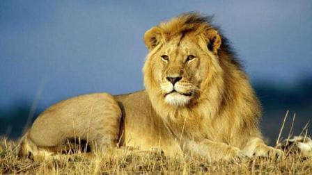 把东北虎和狮子关一起竟发生这一幕 不愧是万兽之王