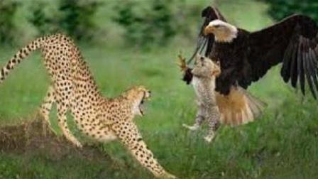 老鹰捕食小猎豹, 猎豹妈妈反杀老鹰, 网友: 真是恶有恶报!