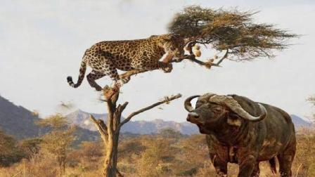 水牛对豹子展开攻击, 豹子爬树嘲笑水牛, 镜头拍下意想不到的画面!