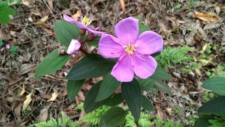 它的花很美, 果实也能吃, 全草可入药, 牙痛, 外伤, 肝炎都可用它