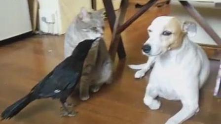 猫狗排队等鸟喂零食, 猫见狗插队走了, 鸟还跟上去安慰