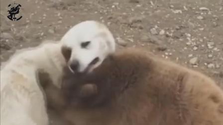 成年大白熊犬与半岁大棕熊玩耍, 这才知道什么是: 熊的力量