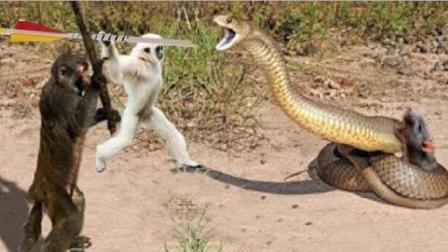实拍: 猴子用计抢夺食物, 这真的是动物不是人?