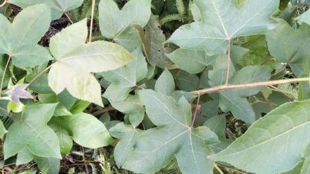 种子能催乳, 根叶用于风湿性关节痛, 胃痛, 肠炎等, 农村城里都有