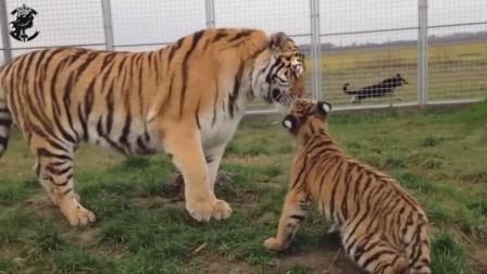 德牧与老虎的快乐农场生活, 不过在这里狗是老大