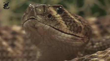 宠物蛇如何喂食, 在专业的饲养员都要用伸缩杆