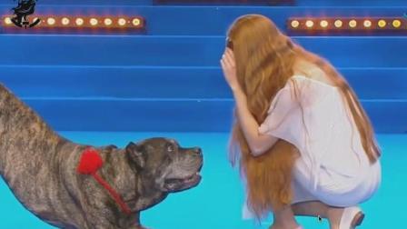 卡斯罗与主人共跳古典舞, 评委都为其鼓掌, 原来猛犬还有这一面