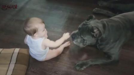卡斯罗犬在小孩面前原来这么萌, 这是猛犬在家里的表现