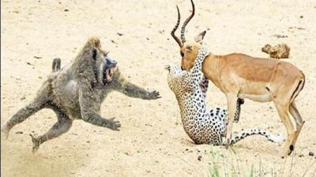 猎豹正想吃掉羚羊 狒狒实在看不下去 最后还是出手了