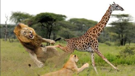 勇敢的长颈鹿猛踢狮子, 草原之王颜面尽失, 没想到下场会是这样?