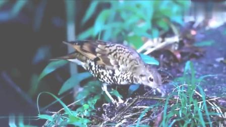 鸟妈妈抓蚯蚓, 喂食自己的鸟宝宝, 这真够敬业的!