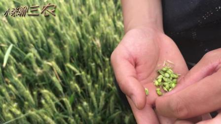 粮食减产严重, 看着让人心疼, 你家小麦遭殃了吗